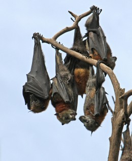 Dominique is involved in bat rescue so we chose this photo of flying foxes for her