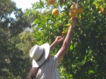 Nick picking bush lemons